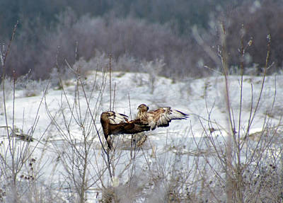 Photograph - Playful Buzzards by Cliff Norton