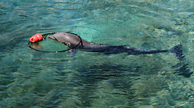 Photograph - Playful Dolphin by Pamela Walton