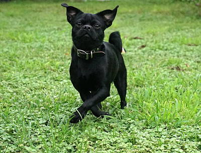 Photograph - Playful Frenchie  by Laurie Perry