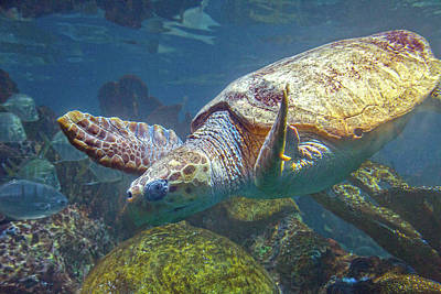 Reptiles Royalty-Free and Rights-Managed Images - Playful Green Sea Turtle by Betsy Knapp