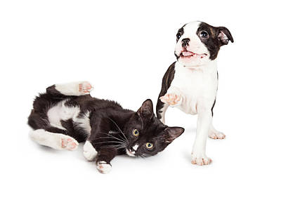 Playful Kitten And Puppy Playing Print by Susan Schmitz