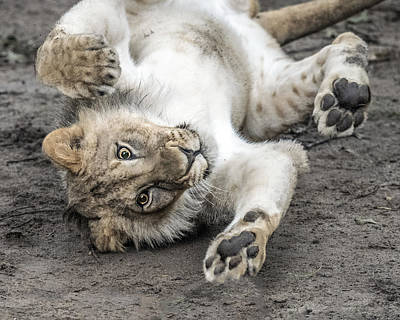 Photograph - Playful Lion Cub by William Bitman