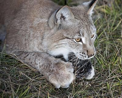 Photograph - Playful Lynx by Ken Cornett