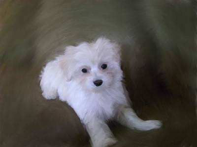 Malti Poo Puppies Painting - Playful Puppy by Link Deases-Gimmi