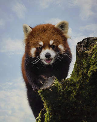 Painting - Playful - Red Panda Art by Jordan Blackstone