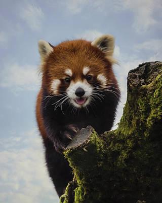 Jordan Painting - Playful - Red Panda Art by Jordan Blackstone
