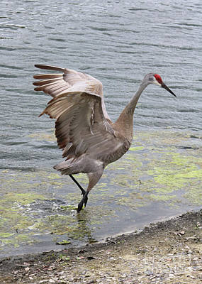 Photograph - Playful Sandhill Crane By The Pond by Carol Groenen