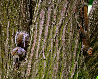 Playful Squirrels  Art Print