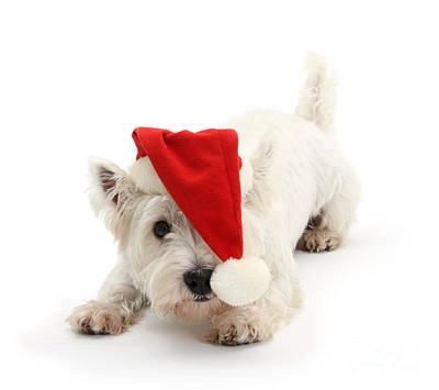 Photograph - Playful Westie Wearing A Santa Hat by Warren Photographic