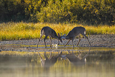 White-tailed Buck Photograph - Playful Young Bucks by Mark Kiver