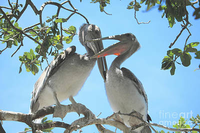 Photograph - Playful Young Pelicans by Carol Groenen