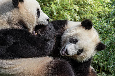 Photograph - Playing Giant Pandas by Arterra Picture Library