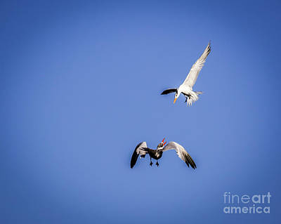 Photograph - Playing Terns by Les Greenwood