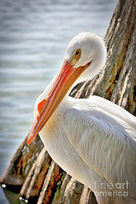 Birds Photograph - Pleasant Pelican by Carol Groenen