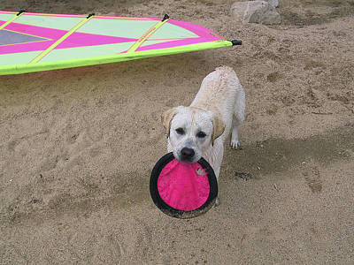 Photograph - Please Play Frisbee With Me - Labrador Dog by Waterdancer