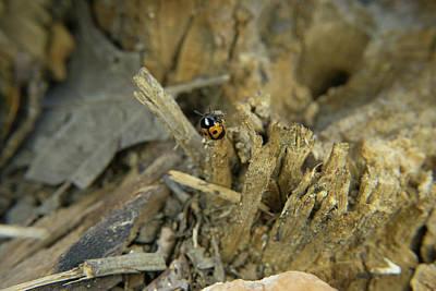 Photograph - Pleasing Fungus Beetle 1 by Douglas Barnett