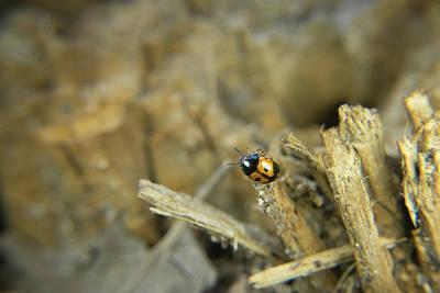 Photograph - Pleasing Fungus Beetle 2 by Douglas Barnett