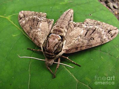 Plebeian Sphinx Moth Art Print