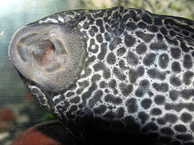 Photograph - Plecostomus Mouth by Tarey Potter