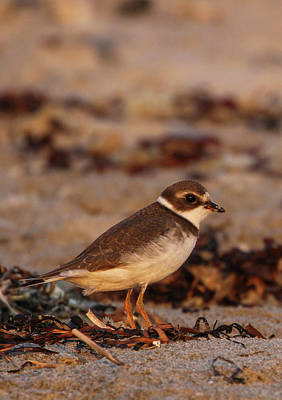 Photograph - Plover Bird by Juergen Roth