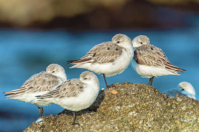 Photograph - Plovers by Jonathan Nguyen