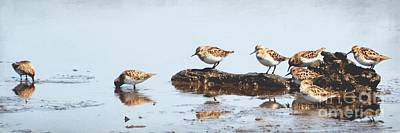 Sandpiper Photograph - Plovers by MingTa Li