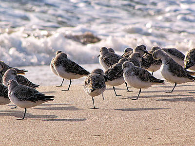 Photograph - Plovers On Playalinda Beach 1  by Chris Mercer
