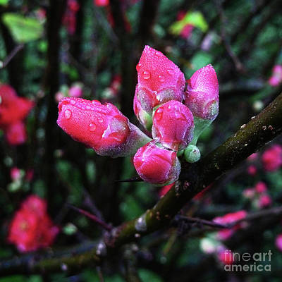 Photograph - Plum Blossom 1 by Xueling Zou