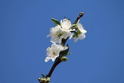 Caravaggio - Plum Blossom by Jill Black