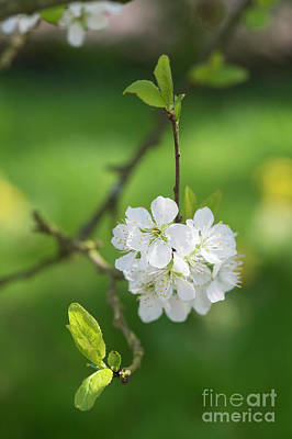 Horticultural Photograph - Plum Blossom by Tim Gainey