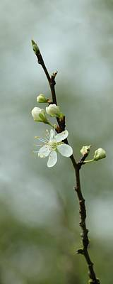 Photograph - Plum Blossom Time by I'ina Van Lawick
