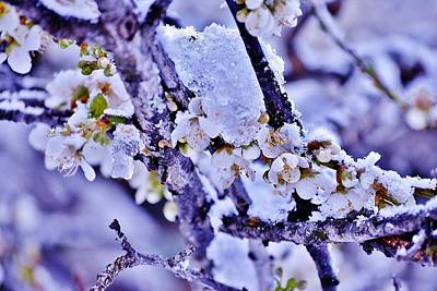 Plum Blossoms In Snow Art Print