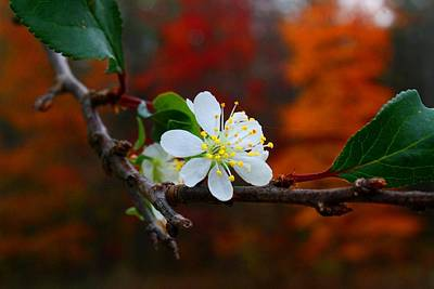 Photograph - Plum Blossoms Out Of Season 2 by Kathryn Meyer