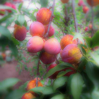 Photograph - Plum Delight by Lora Fisher
