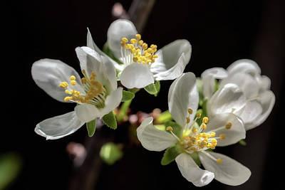Photograph - Plum Flowers by Jonathan Nguyen