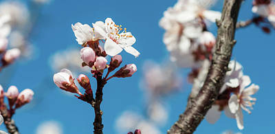 Photograph - Plum Tree Blossom by Dustin Ahrens