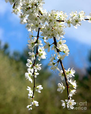 Photograph - Plum Tree Blossoms by Stephen Melia