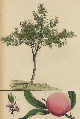 Plum Drawing - Plum Tree by german Botanical Artist