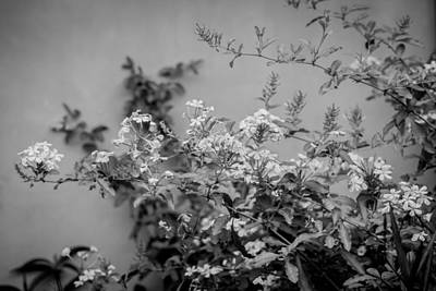 Photograph - Plumbago Auriculata Painted Bw by Rich Franco