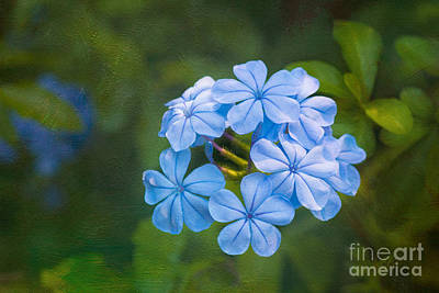 Photograph - Plumbago Blue by Diane Macdonald