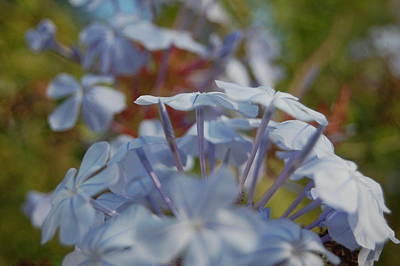 Plumbago Puffs Art Print by Jean Booth