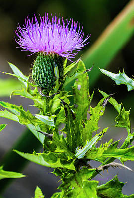 Photograph - Plume Thistle by Edward Peterson