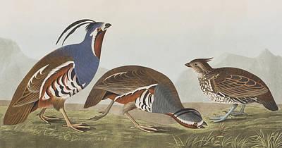 Pecking Drawing - Plumed Partridge by John James Audubon