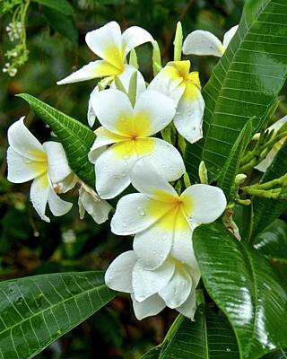 Photograph - Plumeria After The Rain by Carol Bradley