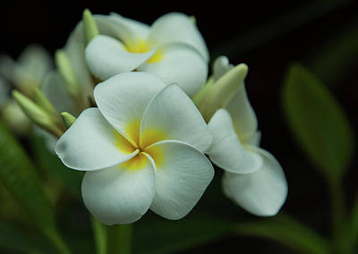 Photograph - Plumeria by Angie Vogel