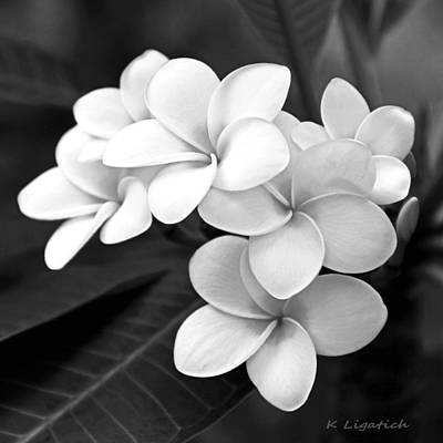 White Flowers Photograph - Plumeria - Black And White by Kerri Ligatich