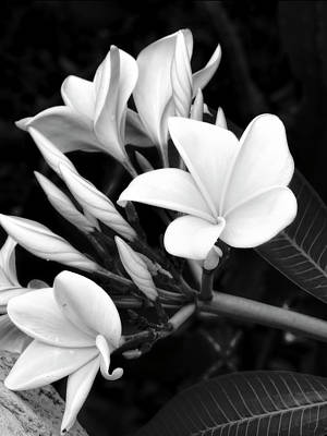 Photograph - Plumeria Black And White Photograph by Ann Powell