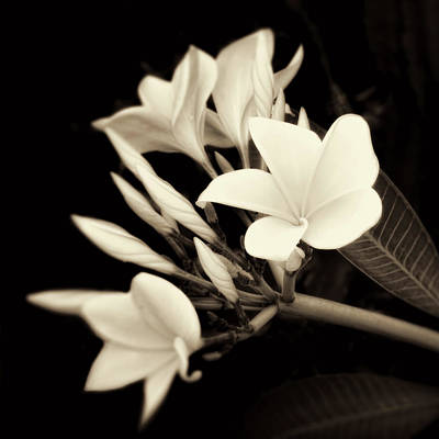 Photograph - Plumeria Blossoms In Sepia  by Ann Powell