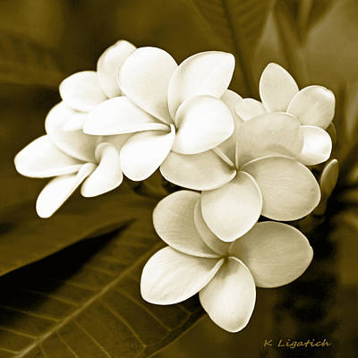 Fragipani Photograph - Plumeria - Brown Tones by Kerri Ligatich
