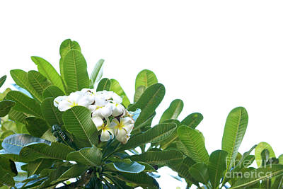 Art Print featuring the photograph Plumeria by Cindy Garber Iverson